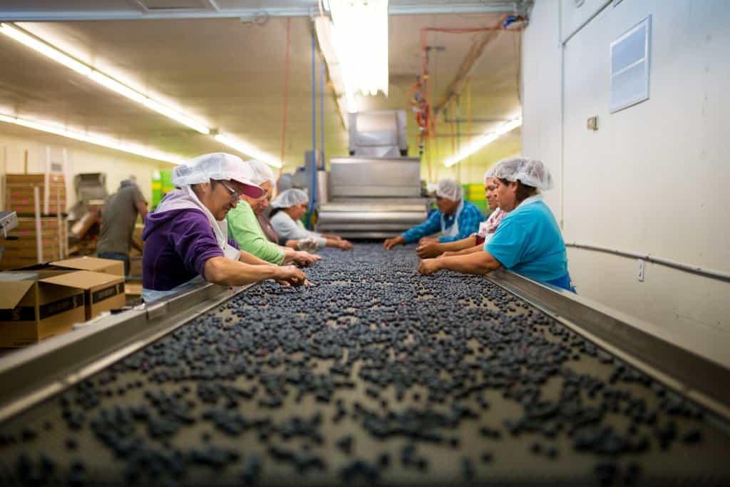 Farm workers sorting through fresh blueberries.