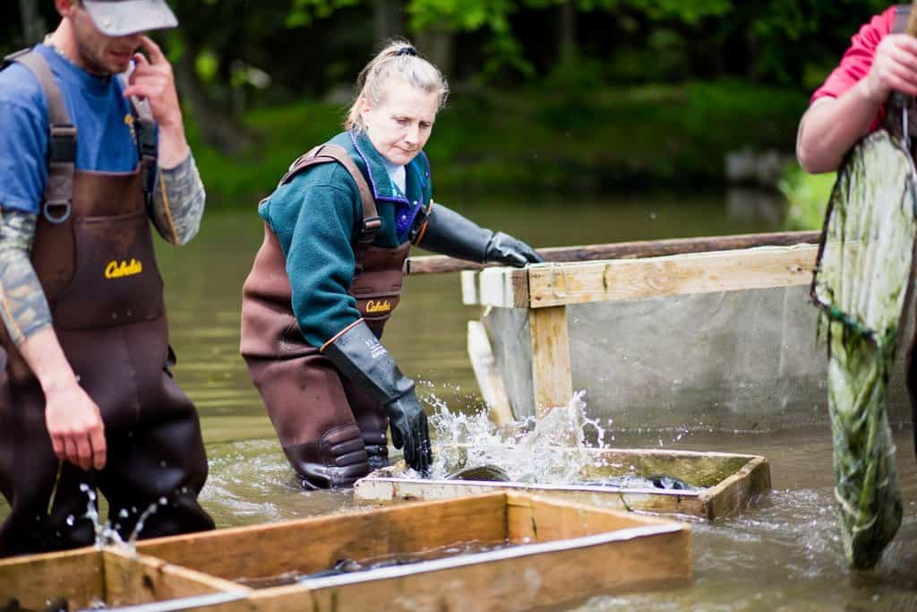 FarmHer Sherry Shaver at Beaverkill Trout Hatchery sorting trout.
