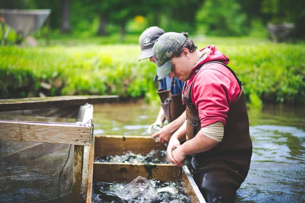 Farm workers sort, feed, rake and catch farm-raised trout in a pond at Beaverkill Trout Hatchery.