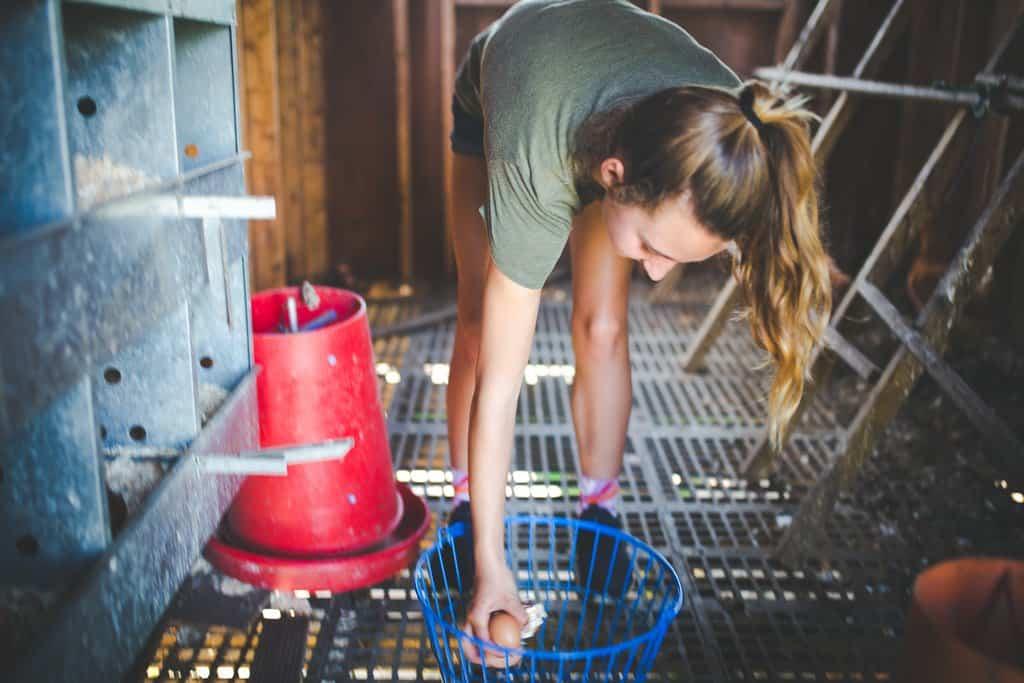 Woman farmer gathering chicken eggs in chicken coop