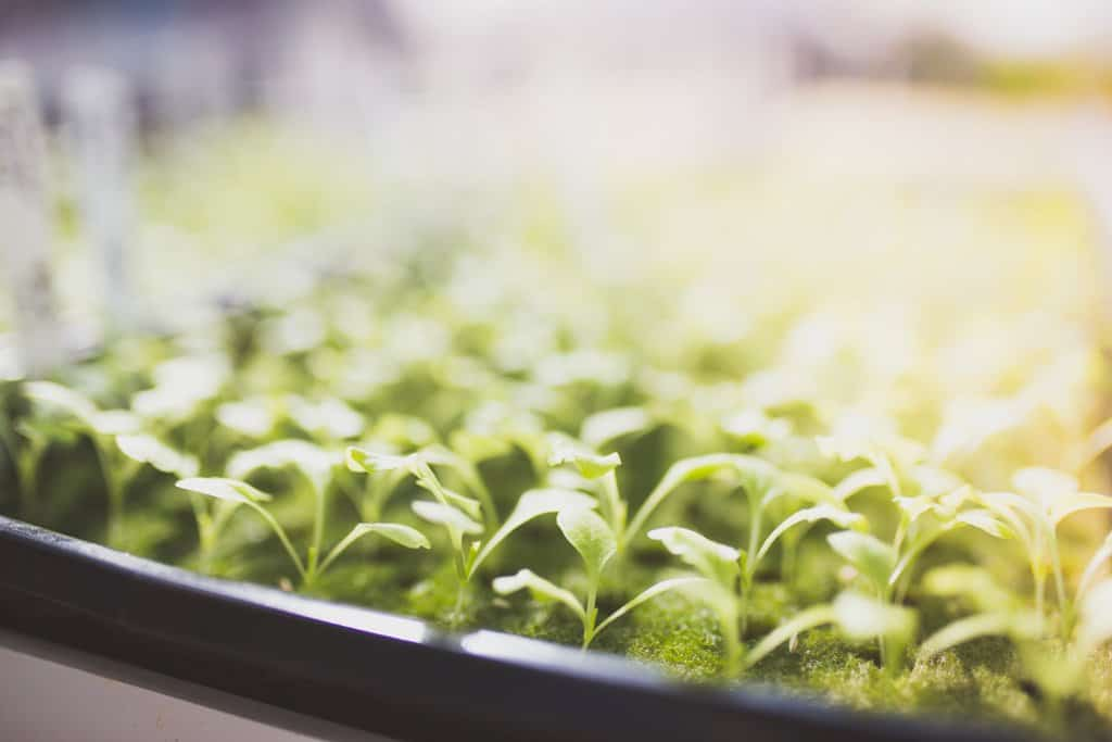 Baby green lettuce in a hydroponic greenhouse