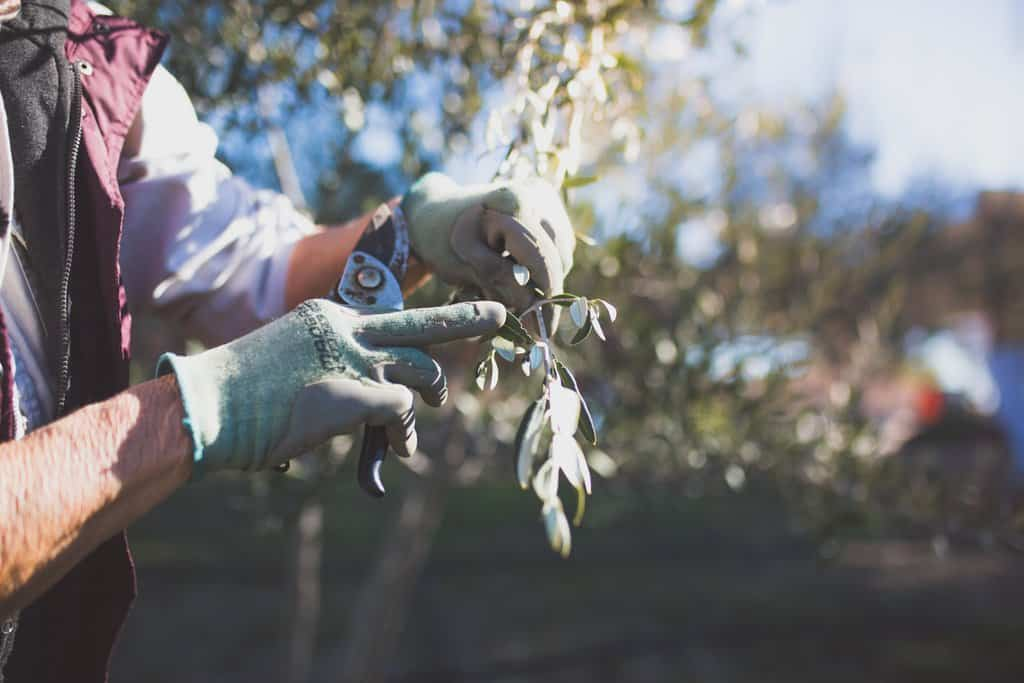 Margery Wheaton of Vista Lucia Farms hold an olive branch with garden shears