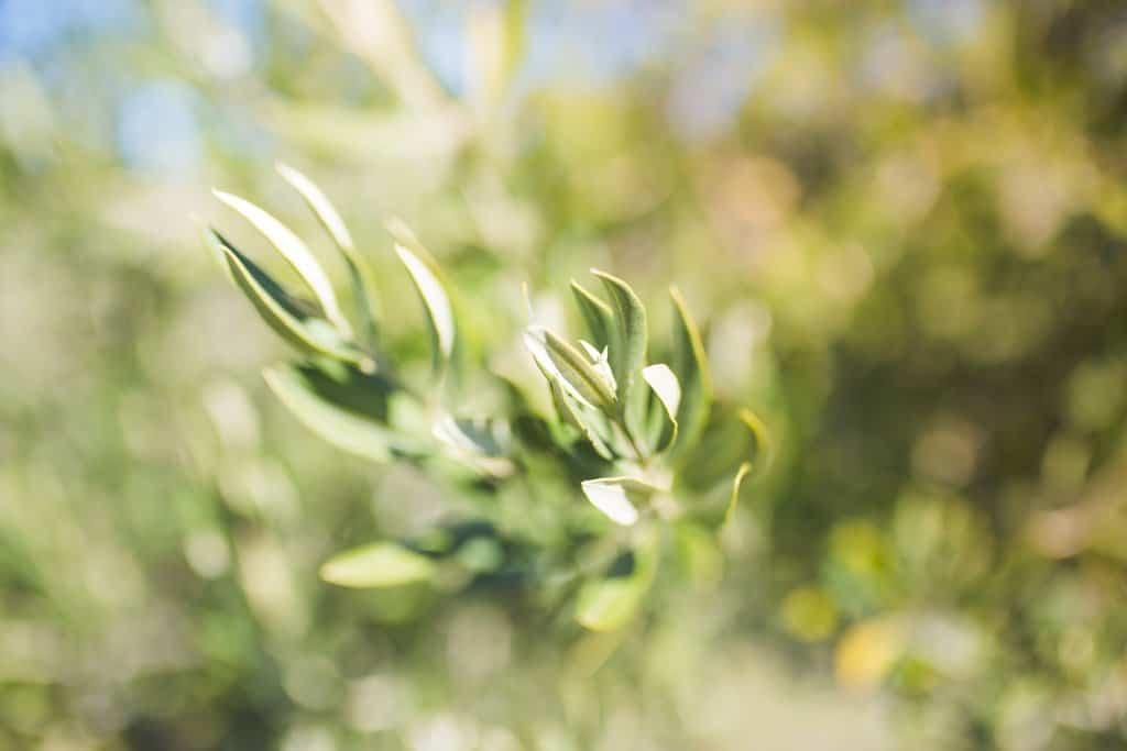 A olive branch at Vista Lucia Farms in California