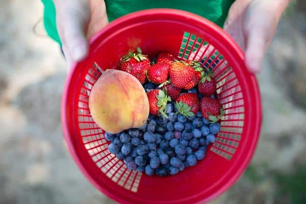 Red basket of fresh picked peaches, strawberries and blueberries from Backyard Orchards in Eufaula, Alabama.