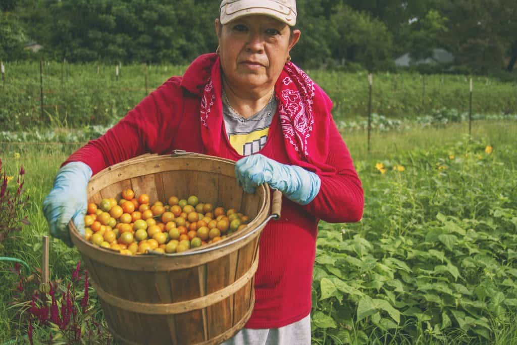 Farmworker holding a basket of tomatoes in a field.