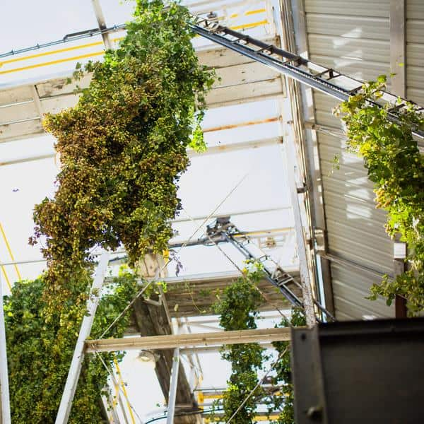 Freshly cut hops vines being loaded into a hops processing facility