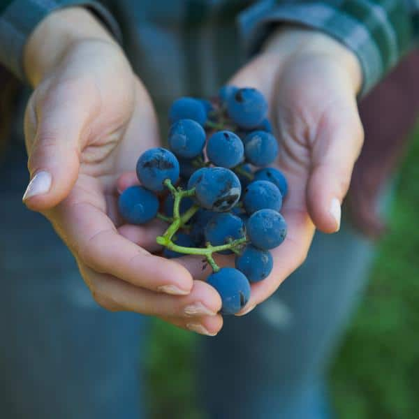 Woman's hands holding Concord grapes