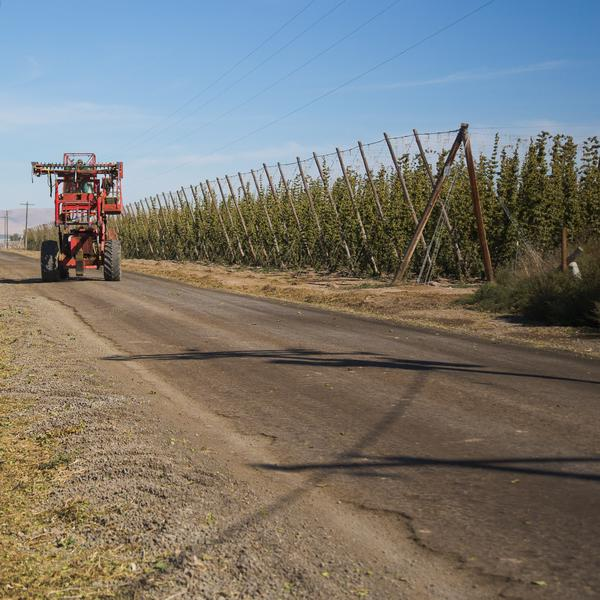 A red tractor drives by a field of growing hops