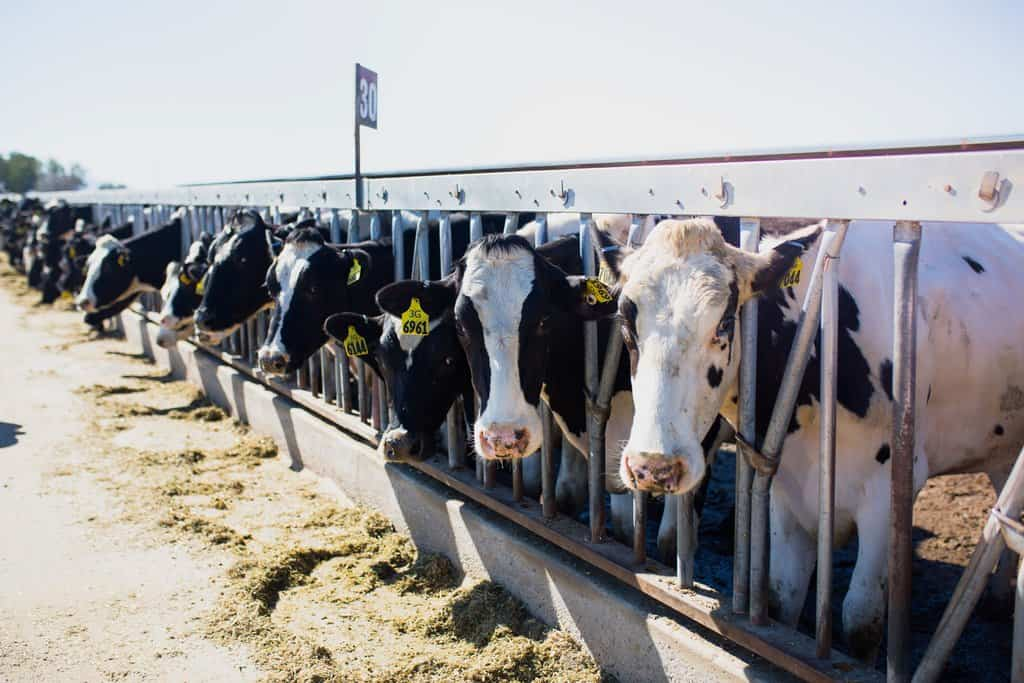 Dairy cows line up at a feed bunk at an Arizona farm.