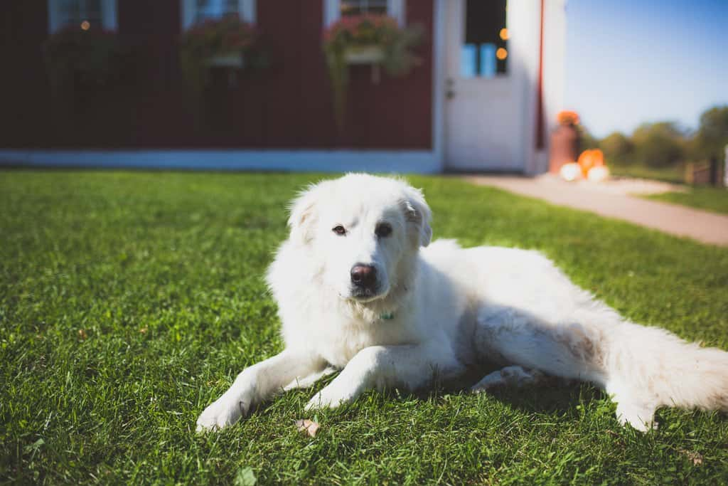 A livestock guardian dog rests in green grass at Clear Spring Yak Farm.