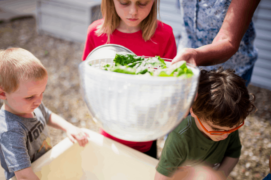 Students at Kinderfarm Preschool pick lettuce for their lunch for the day.