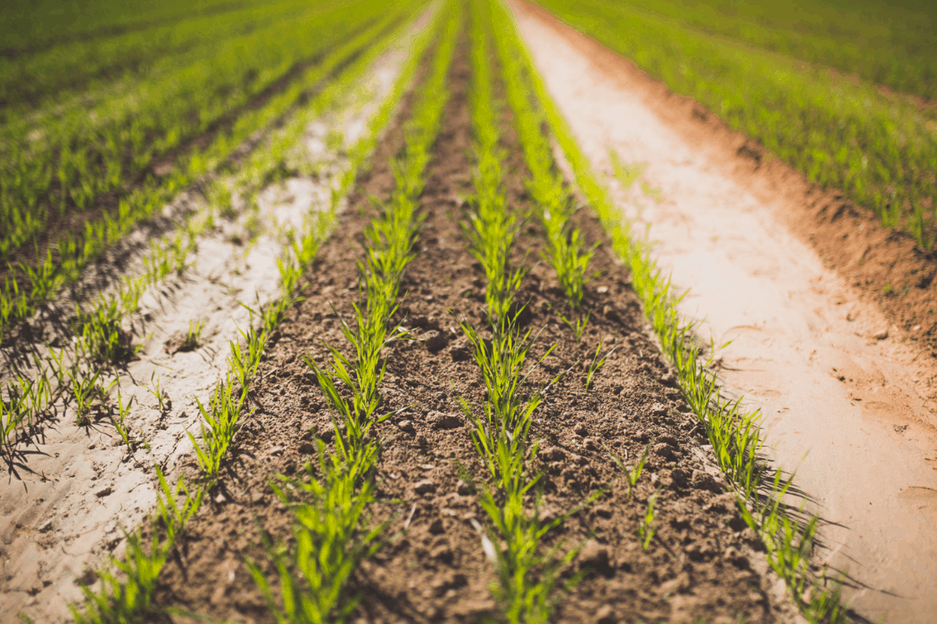 Rows of crops located at Pinnacle Farms in Arizona.