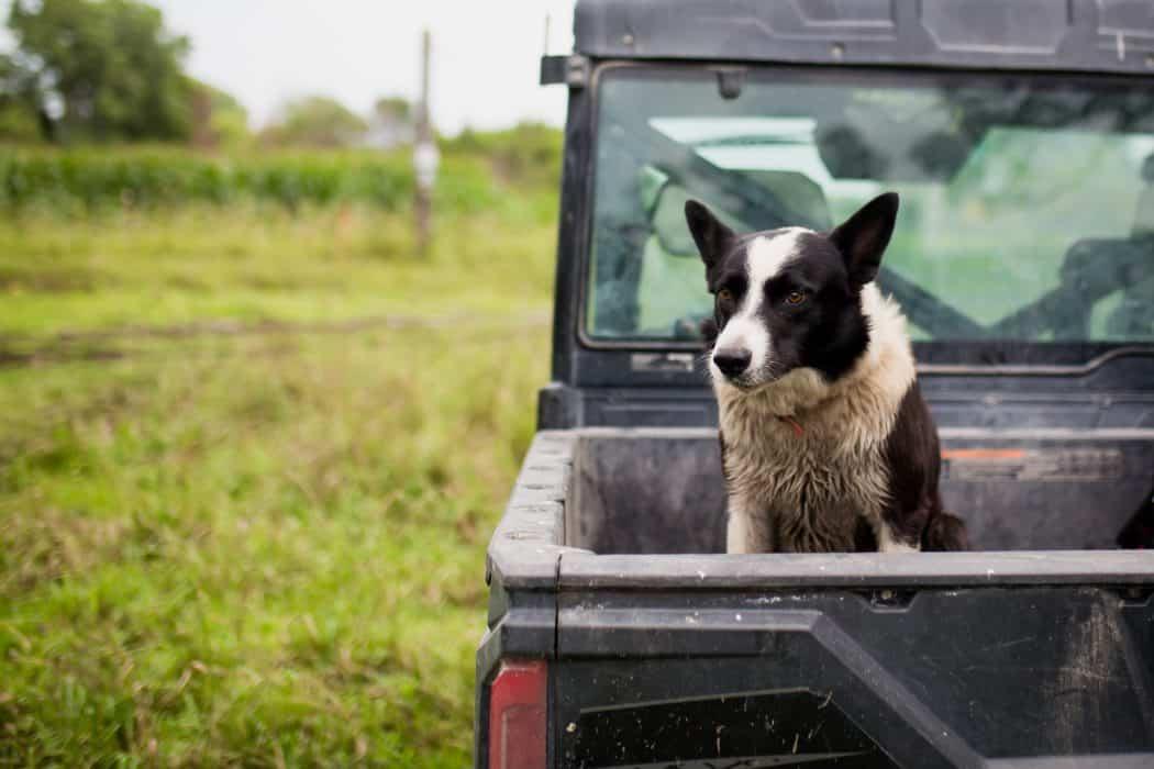 Black and white farm dog sitting in back of black UTV on farm in Nebraska.