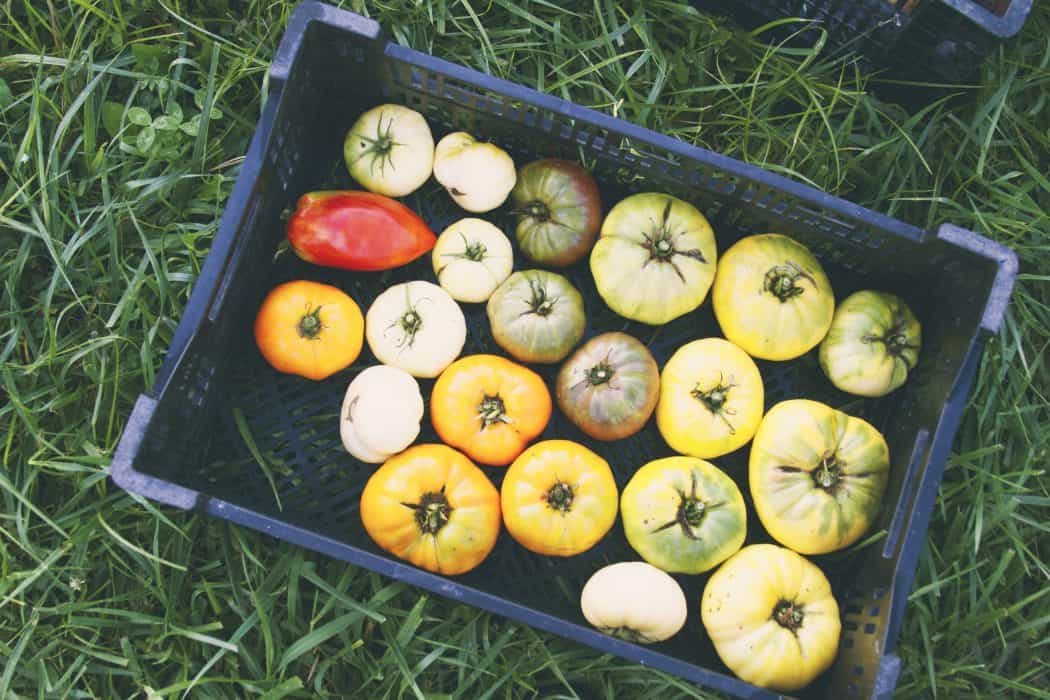 Various types of tomatoes in black box on green grass.