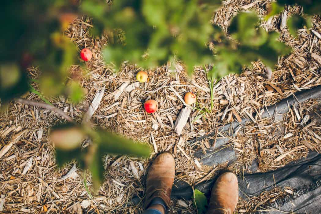 Woman standing in a large apple orchard with brown boots on.