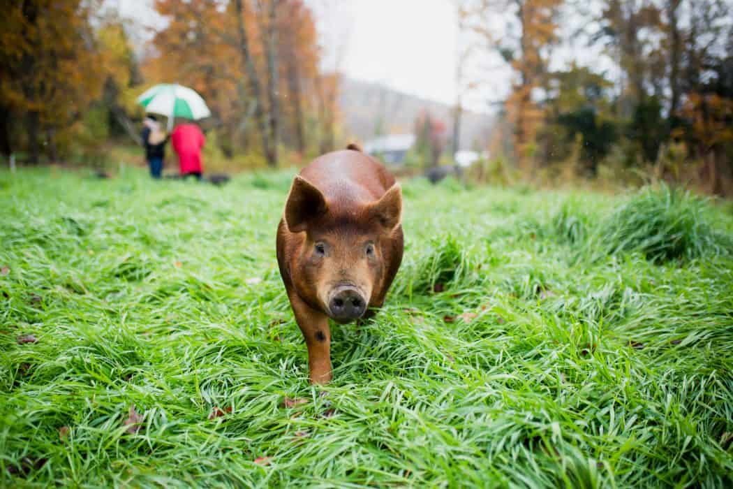 Brown red hog walking down green pasture.