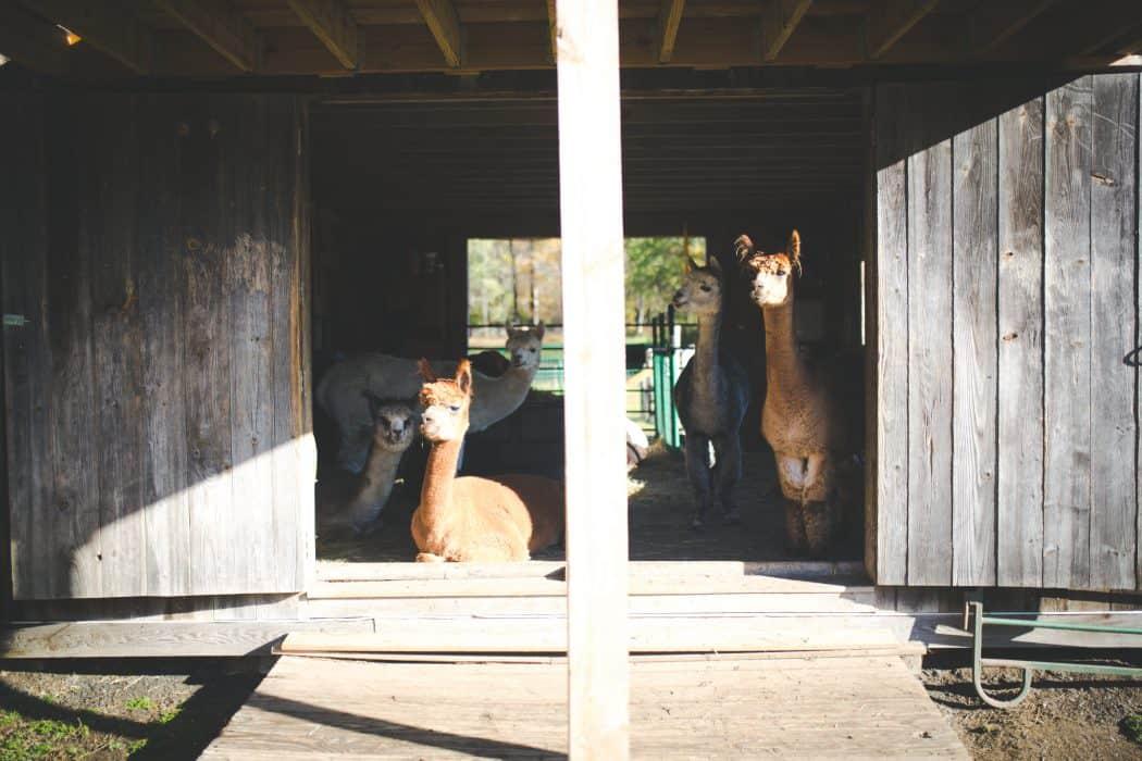Alpacas sitting in a barn at Barron Hill Alpacas in Vermont.