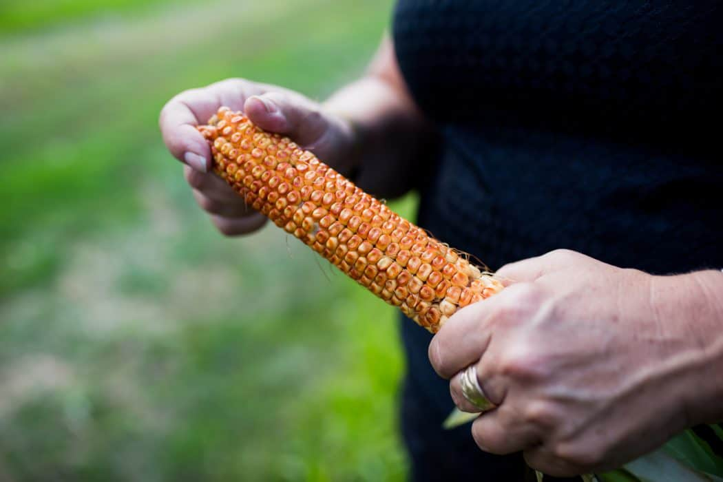 A woman's hand holding an ear of corn on a farm.