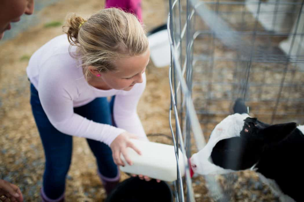 A young blonde girl feeding a dairy calf at Newmont Farms in Vermont.
