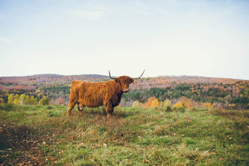 Scottish Highland Cattle standing in a field in Vermont.