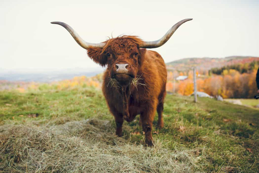 Scottish Highland Cattle standing and looking at the camera.