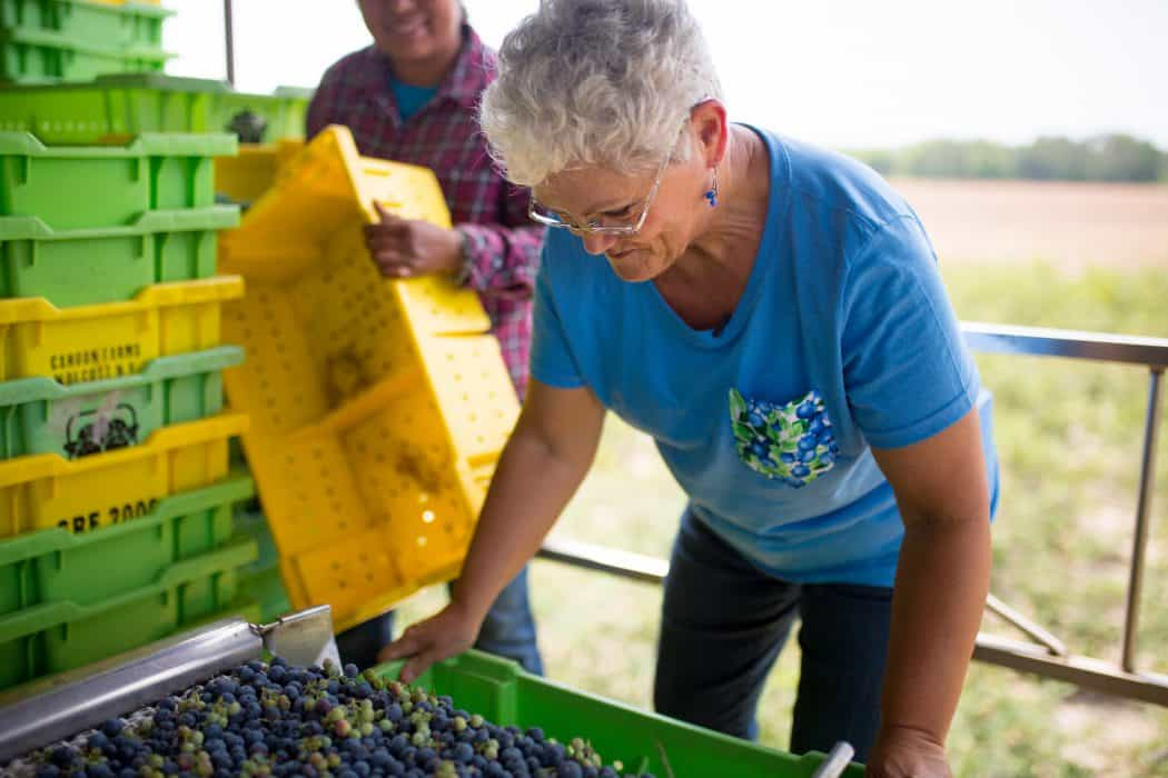 Ann Wildes of Wildes Farm and the Blueberry Barn sorting fresh blueberries in Georgia.