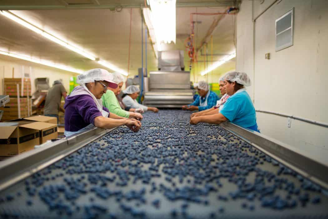 Blueberries being sorted by women on a conveyor belt.