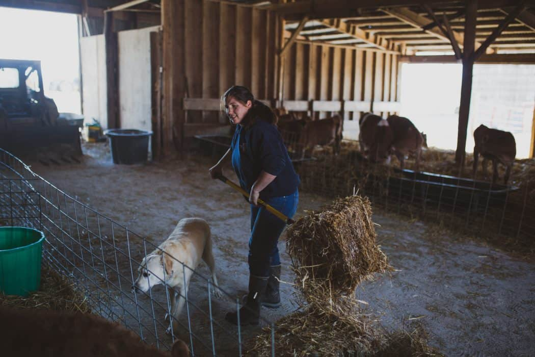 Woman cleaning the barn at a dairy with Jersey cattle.