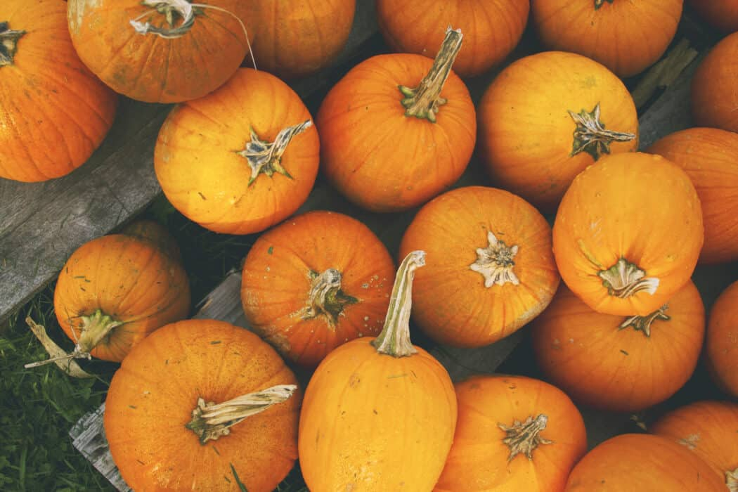 Orange pumpkins at Enchanted Acres.