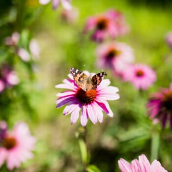 Pollinators on pink flowers at a farm.